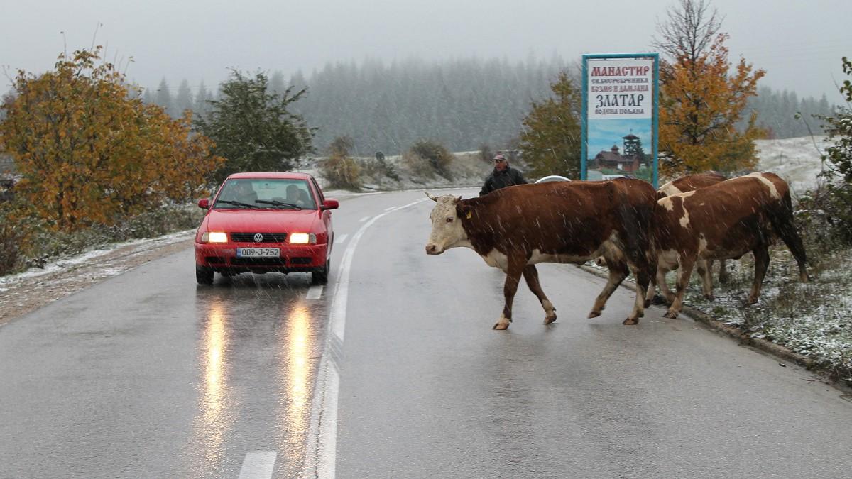 Због снега и хладноће сточари затварају говеда у штале