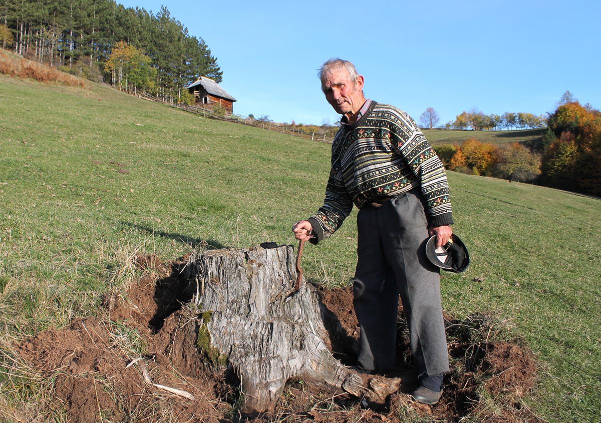 Пањ бора посеченог пре пола века на имању Дарка Зечевића (87)