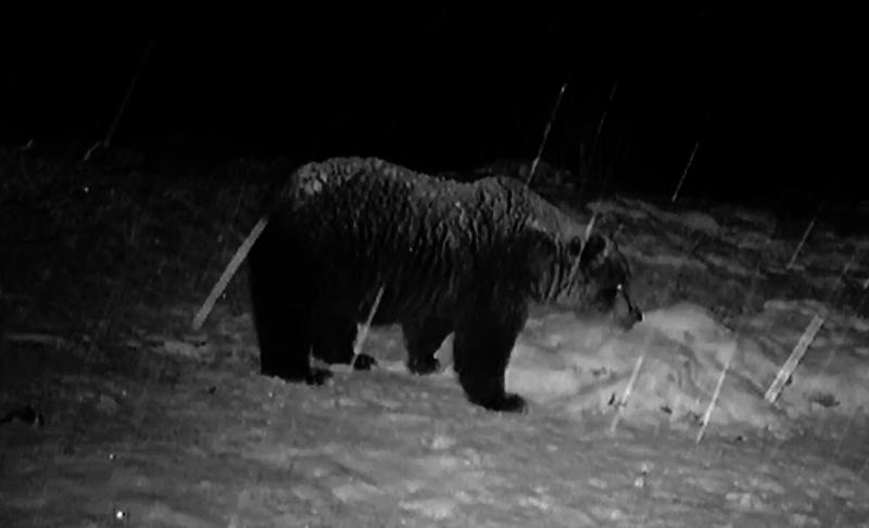 Самотњак - медвед на хранилишту у касним ноћним сатима