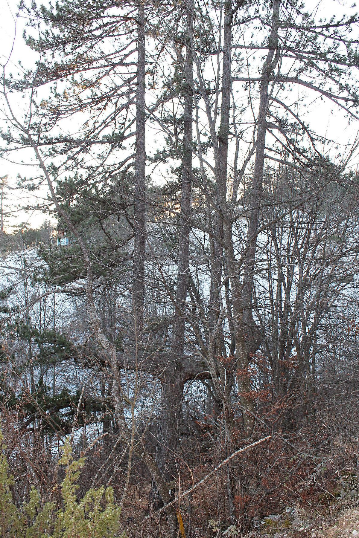 Реткост - стабло црног бора под заштитом државе Retkost - stablo crnog bora pod zastitom drzave