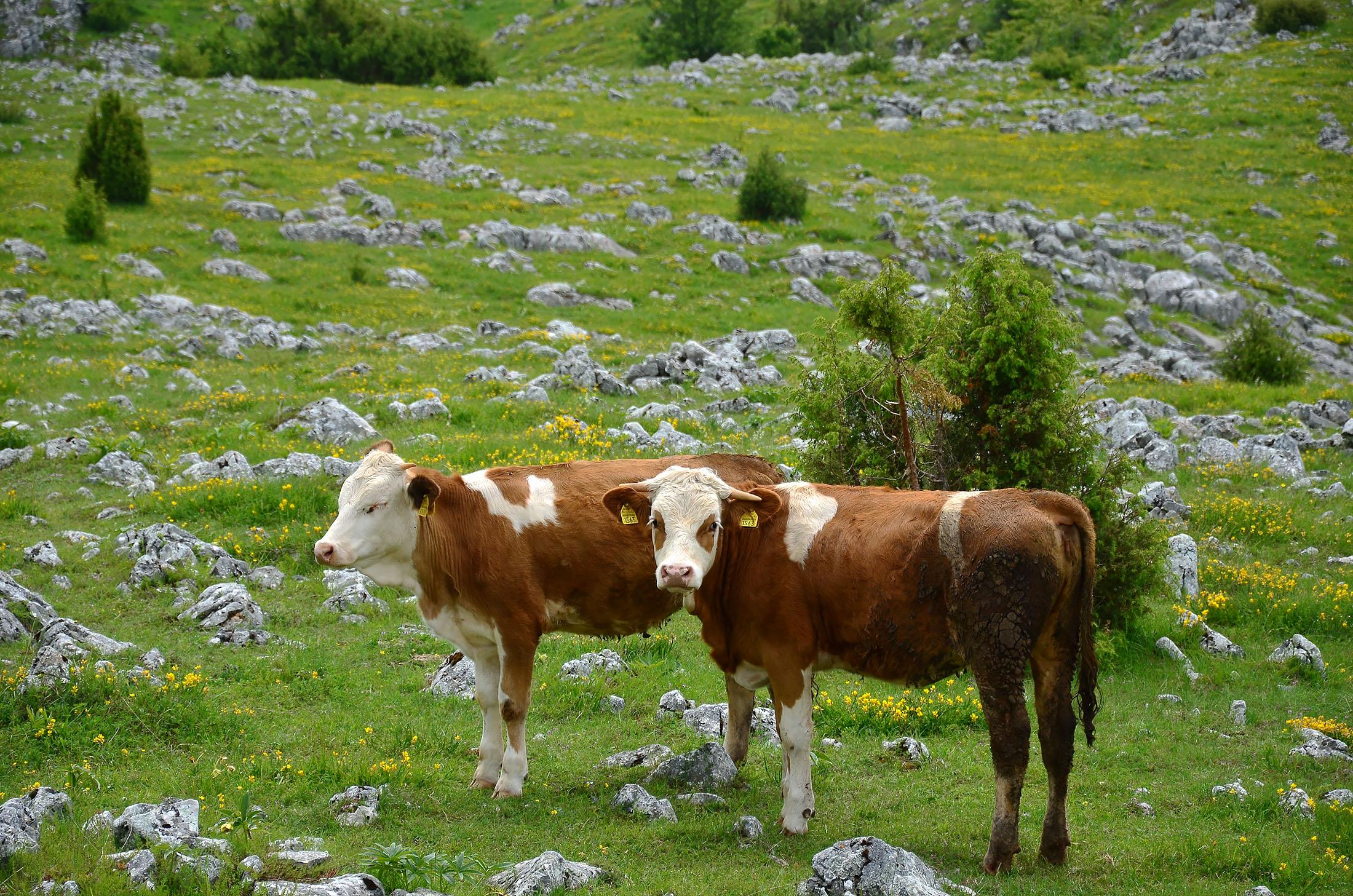 Krave na ispaši - Lepote planine Zlatar