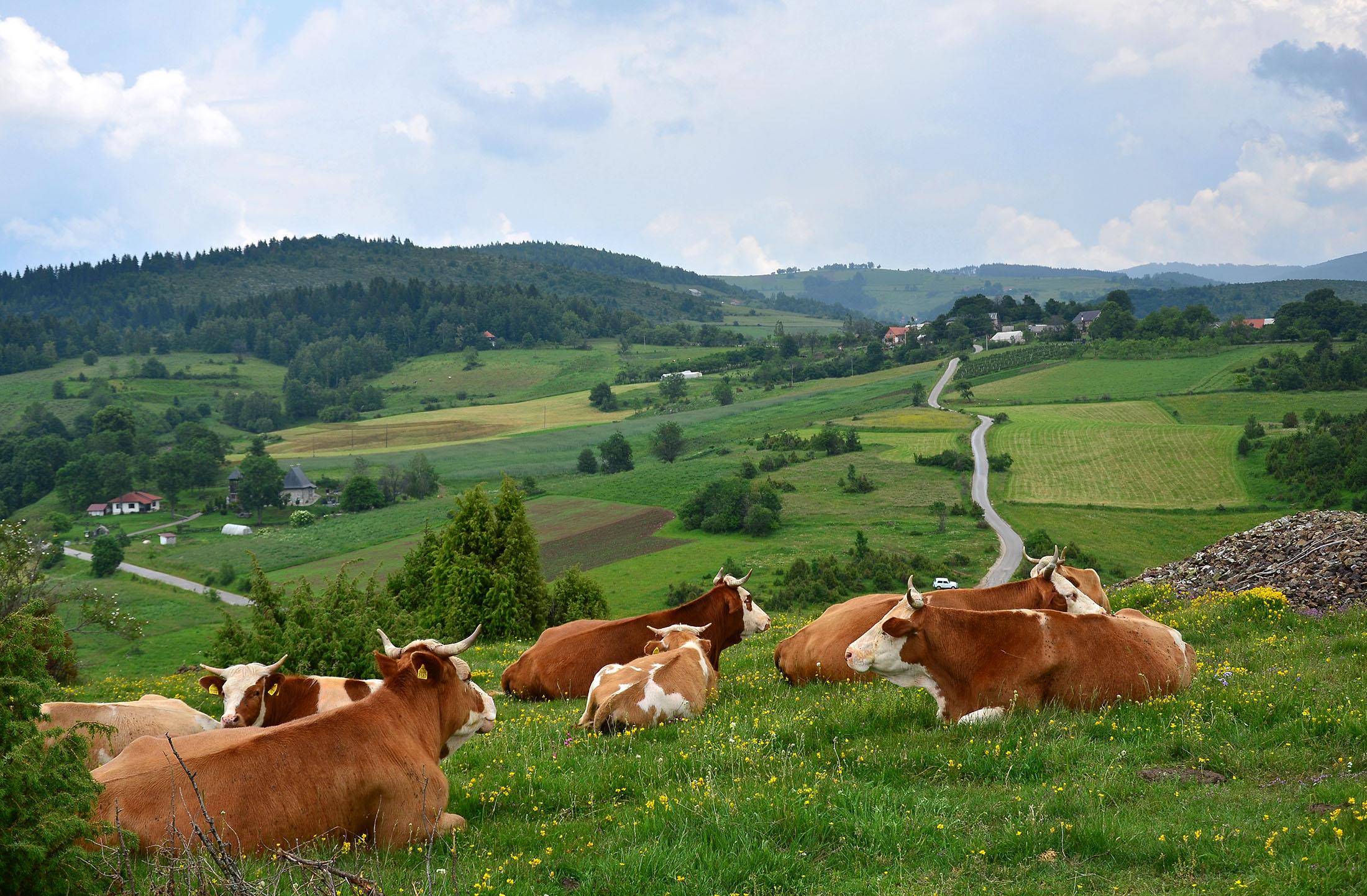 Stado krava se odmara - Lepote planine Zlatar