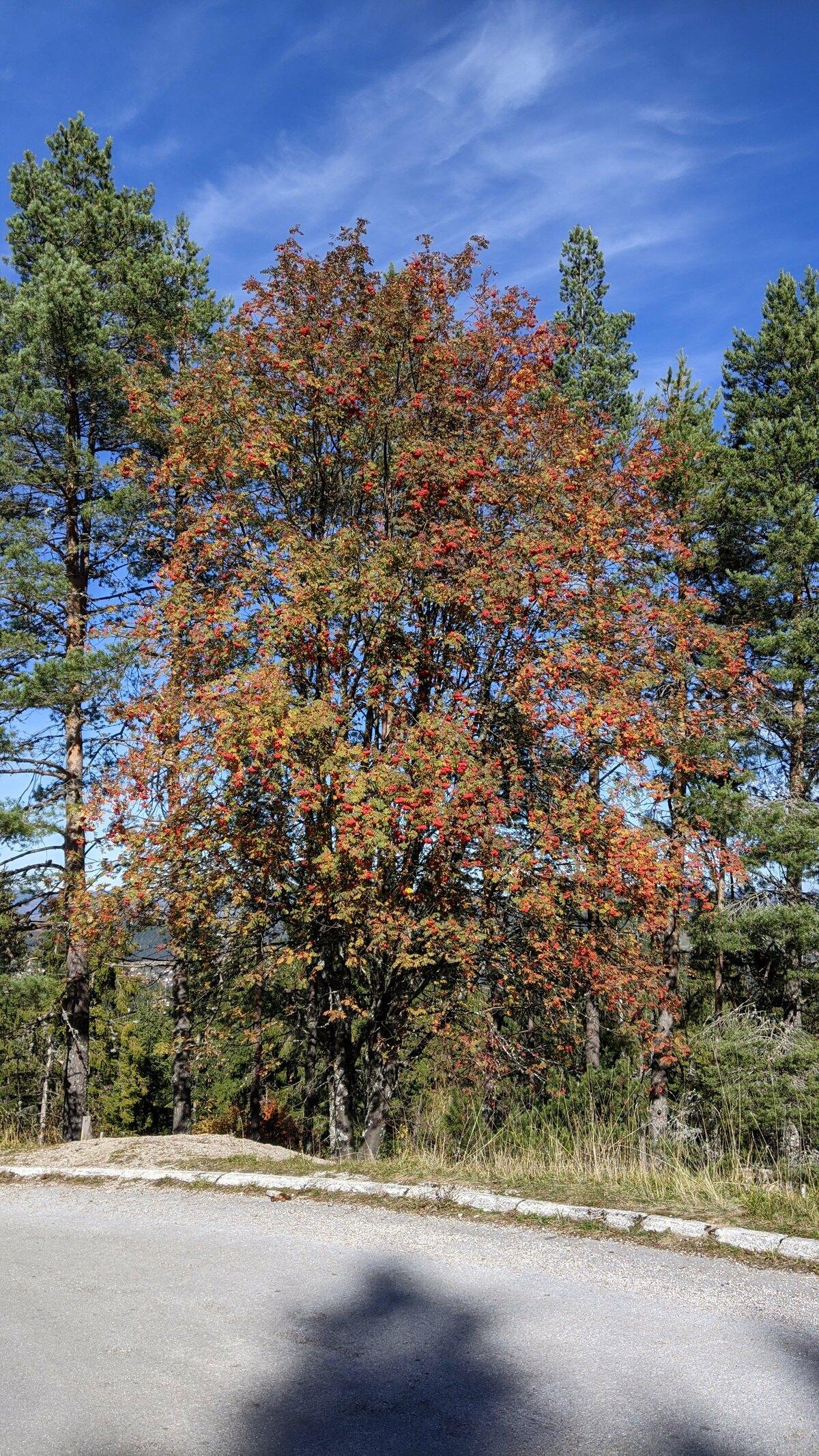 Drvo u jesen Jesen na Zlataru